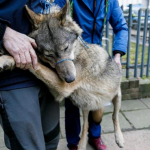 Görlitz: Wolf verirrt sich in Garten